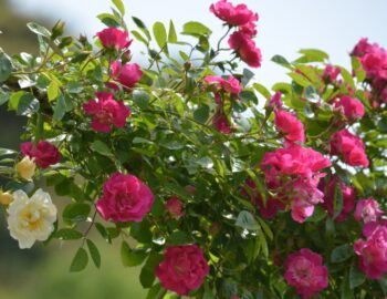 róże pnące do ogrodu